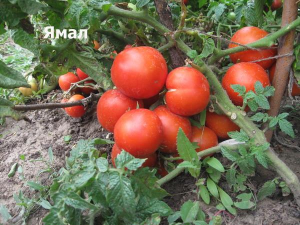 томат ямал на огороде