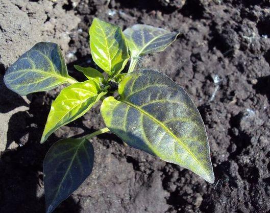 фиолетовые листья у перца на огороде
