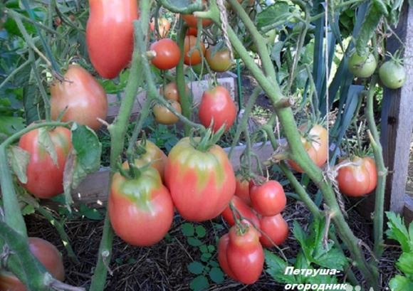 томат петруша на огороде