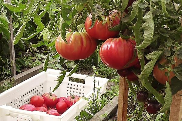 крупные томаты на огороде