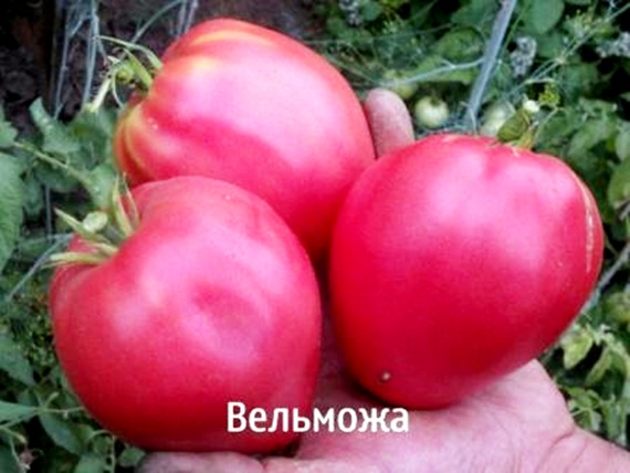 внешний вид томата вельможа