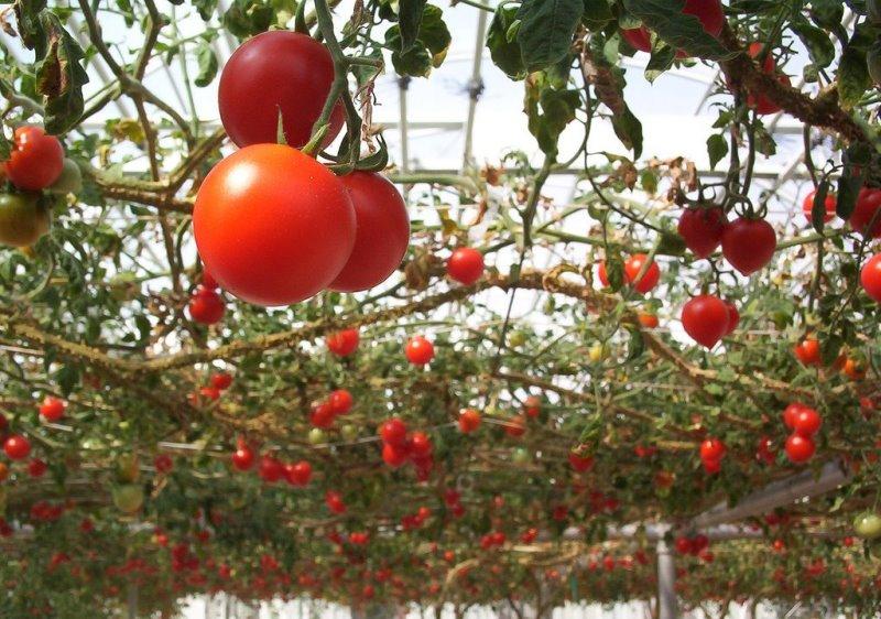 томат спрут в теплице