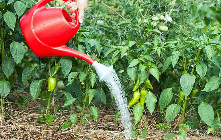 поливают перец
