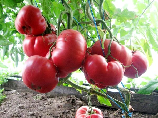 куст томата розовый мед