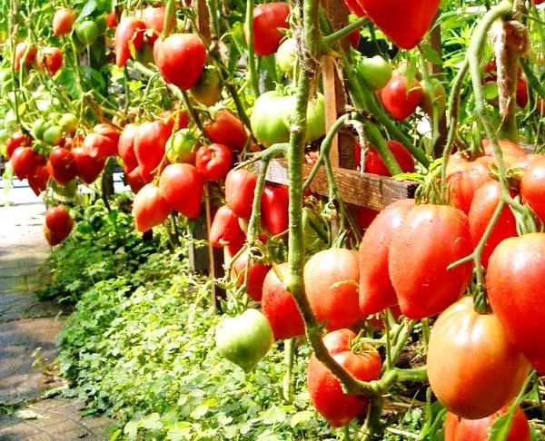 кусты томата чудо земли