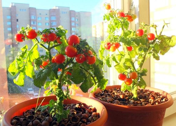 помидоры черри на балконе