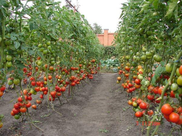 высокорослые томаты в огороде