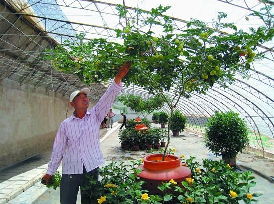 италийское томатное дерево