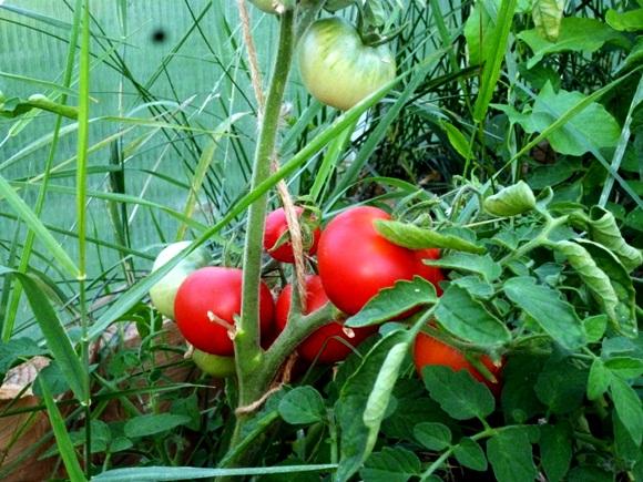 томат алпатьев на огороде
