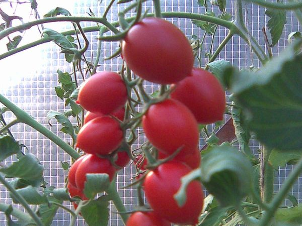 томат черри ира в теплице
