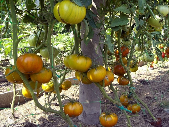 кусты томата малахитовая шкатулка