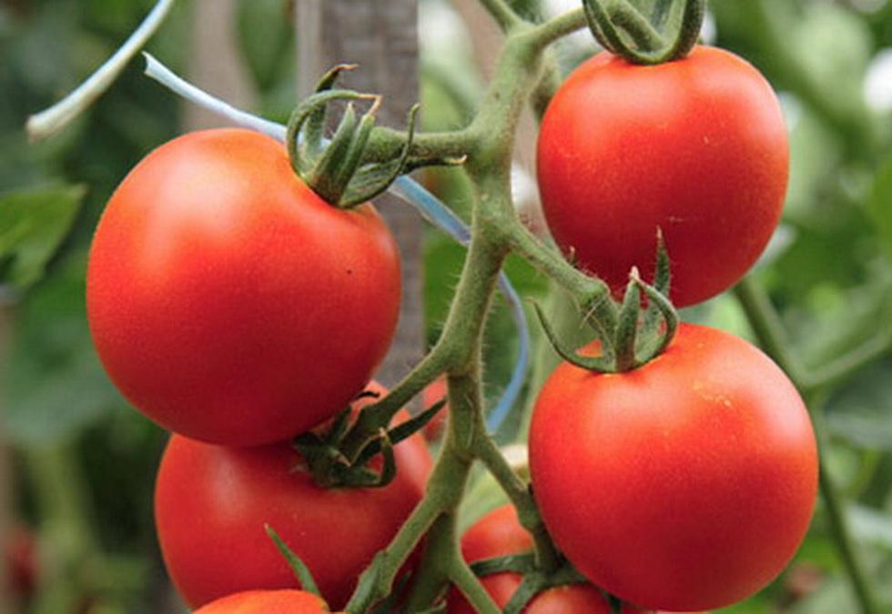 томат саня