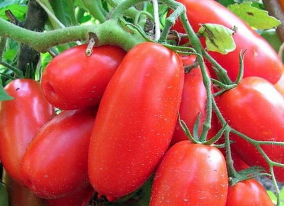 внешний вид томата сибирская тройка
