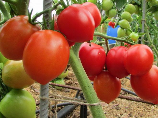 кусты томата столыпин