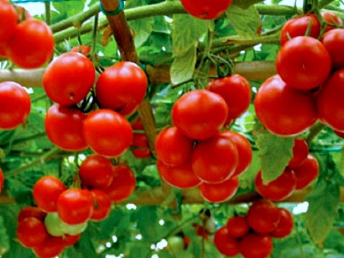 томат яблонька
