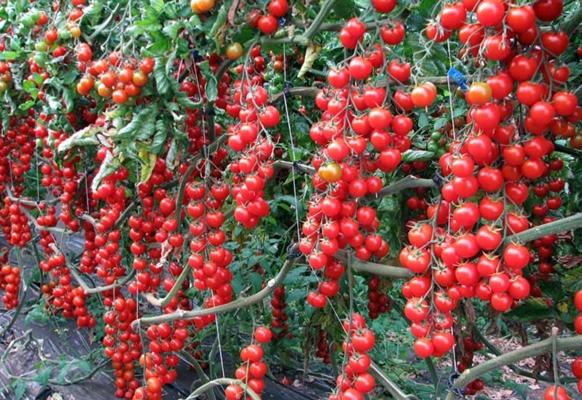 кусты томата свит черри
