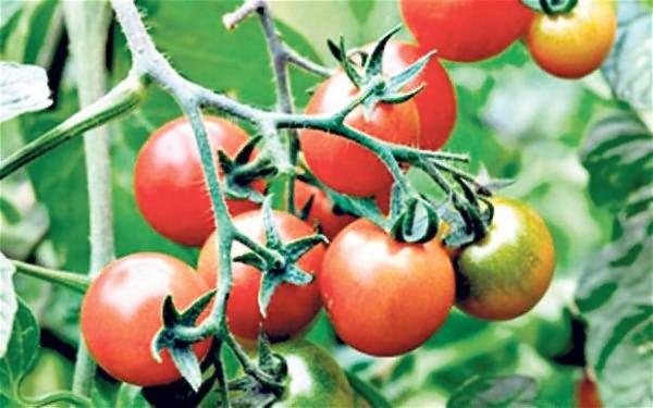 преимущества томата