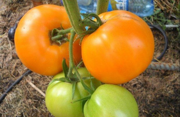 томаты медовый спас в огороде