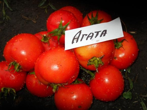 внешний вид томата агата