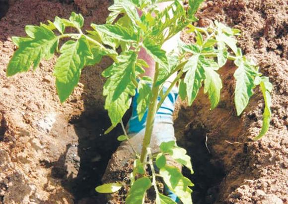 посадка томата в грунт