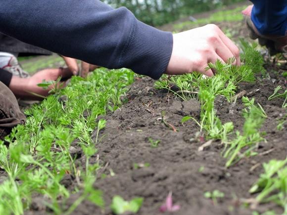 прополка моркови в огороде