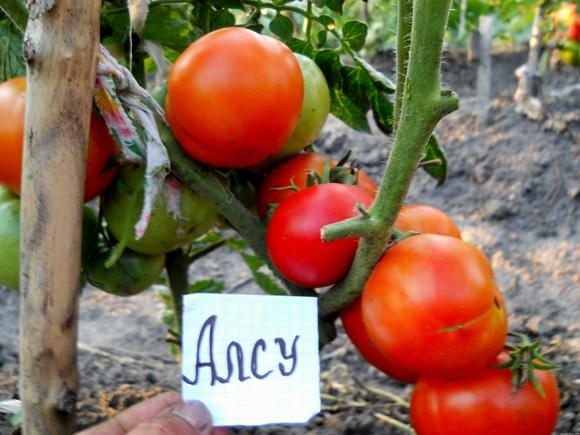 томат алсу в открытом грунте