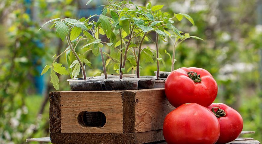 томаты урожай
