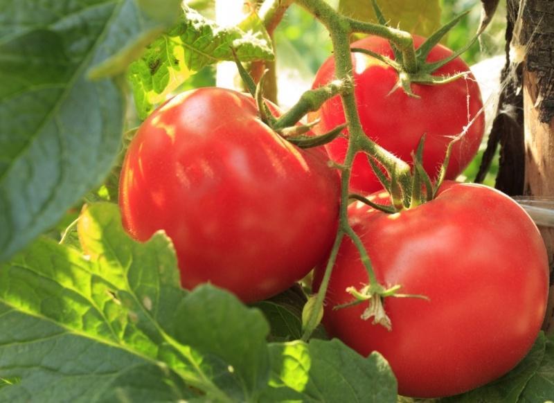 томат на ветке