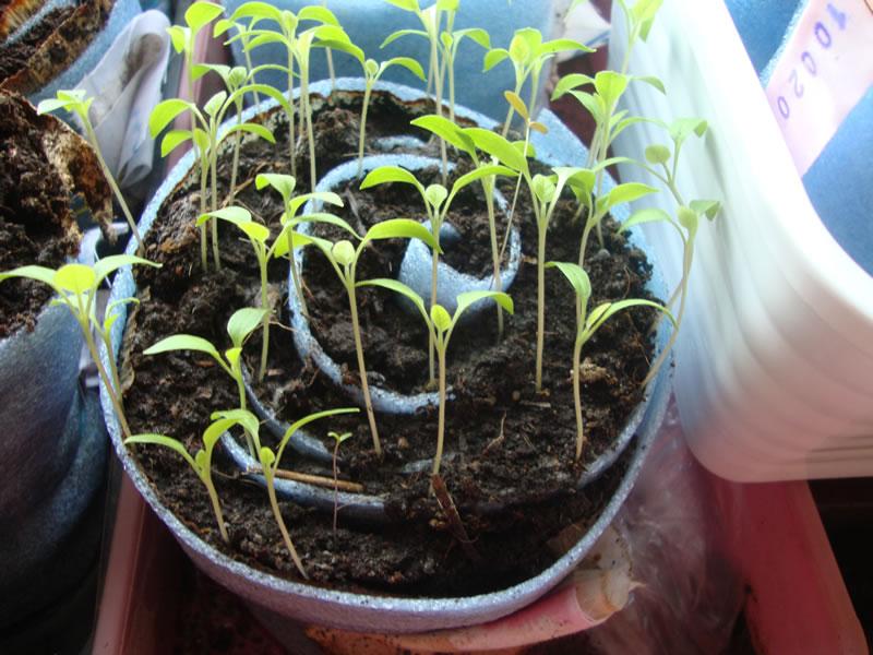 внешний вид улитки для томата