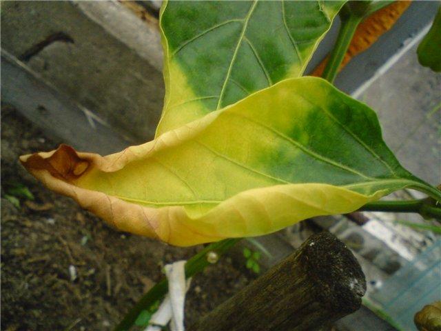 желтый листок перца