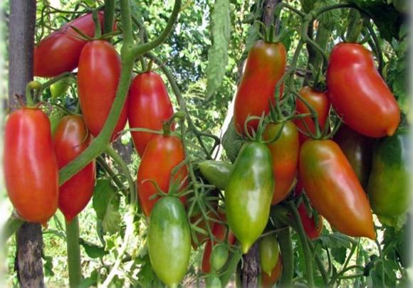 кусты томата французский гроздевой