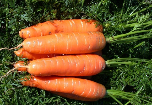 морковь нантская на огороде