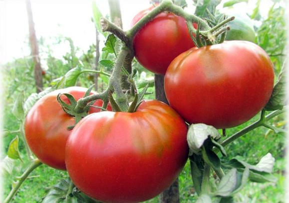 кусты томата мясистый малиновый