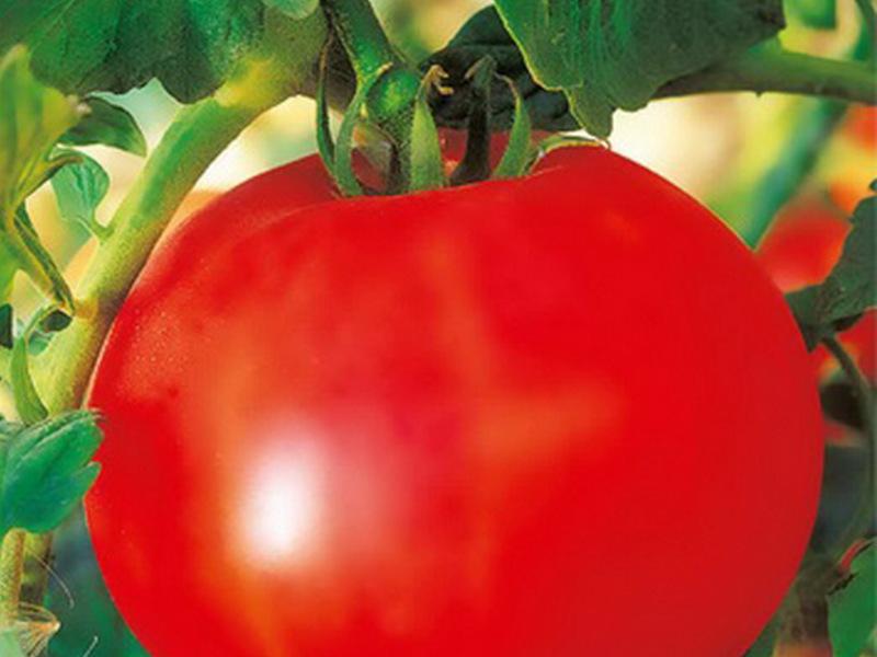 томат выращивание уход