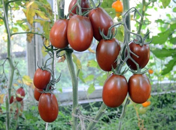 кусты томата черный мавр