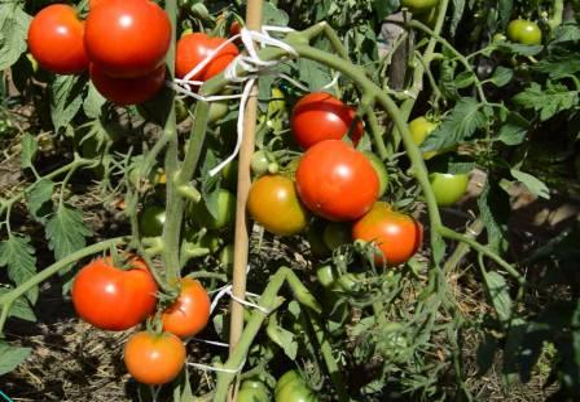 томат выращивание