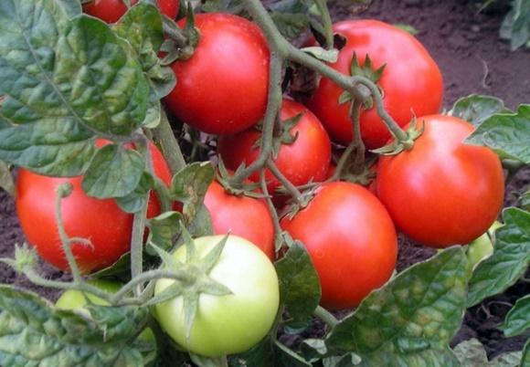 томат красная шапочка в открытом грунте