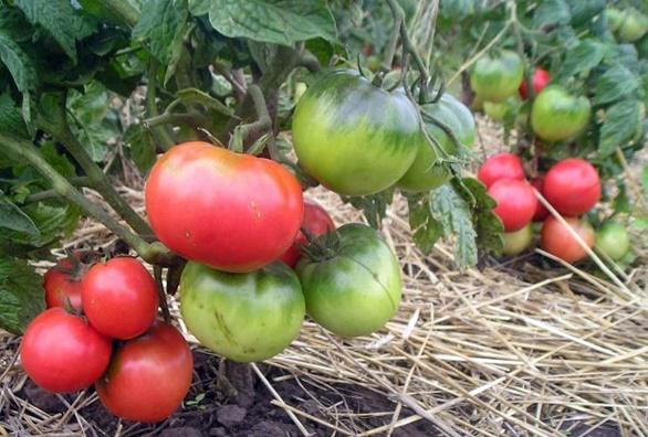 томат монгольский карлик в огороде