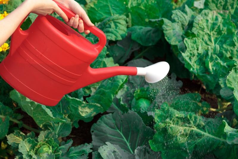капусты поливают из лейки