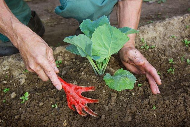 окучивание капусты на огороде