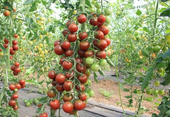 томат спасская башня в открытом грунте