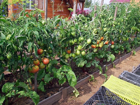 кусты томата в открытом грунте