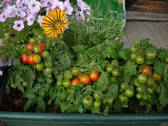 томат пиноккио растет на балконе