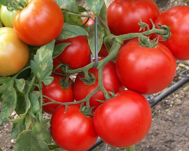кусты томата санрайз