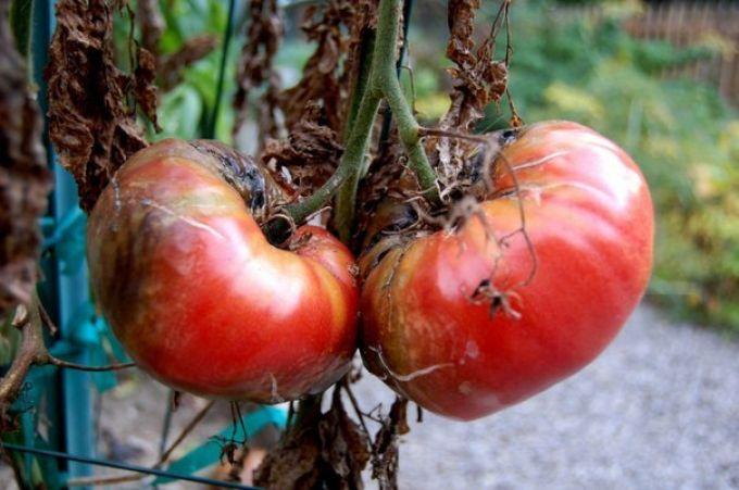 фитофтора на томатах в открытом грунте