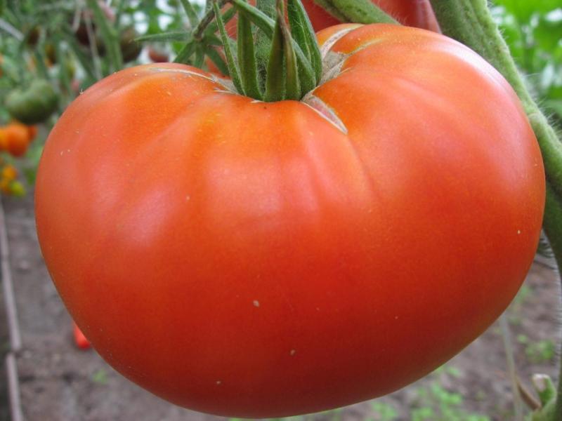 томат нужный размер на огороде