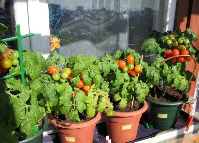 томат пиноккио на балконе