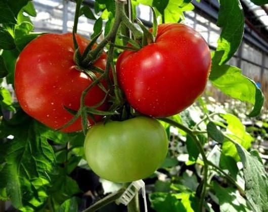 томат волгоградский скороспелый на грядке