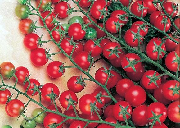 ветки томата красная гроздь