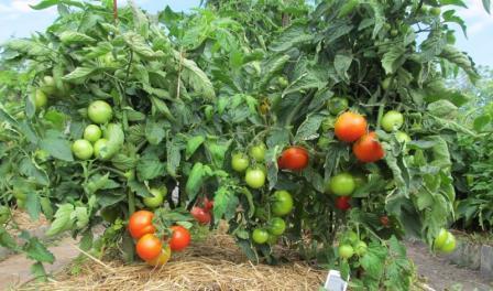 выбор сорта томата
